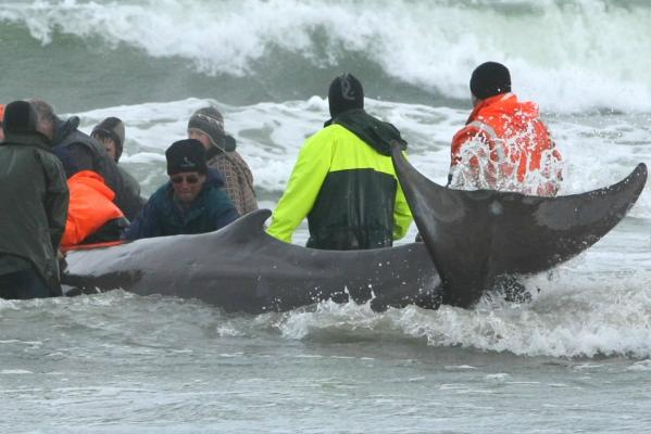 2013 Whale rescue at Omaui