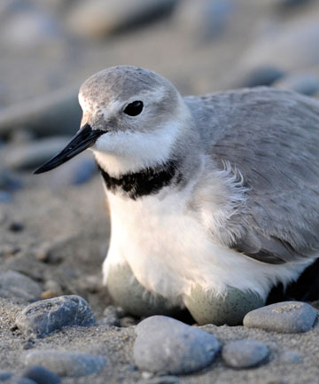 A wrybill captured by The Press photographer David Hallett last year.