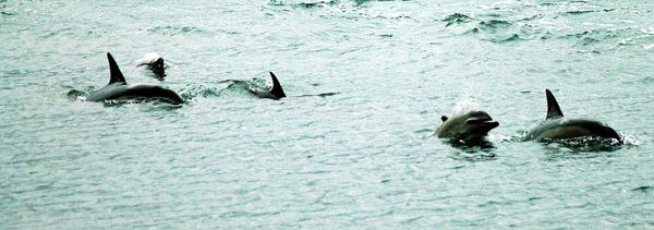 Evans Bay dolphins
