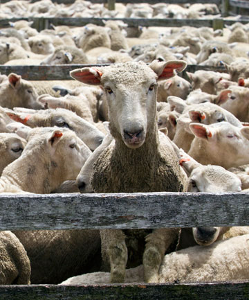 China bought $170 million of sheep products from SFF last year.
