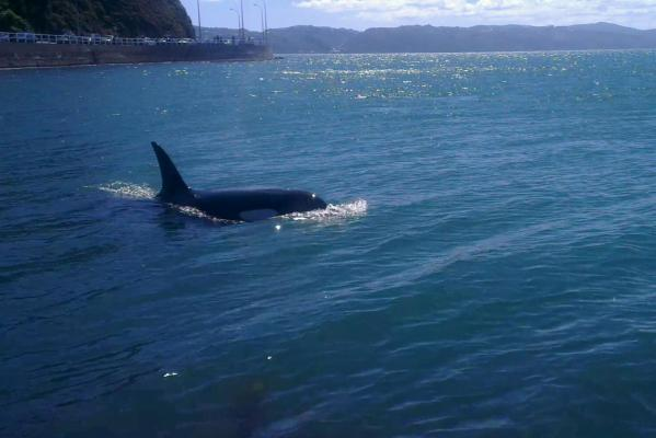 Orca at Great Point