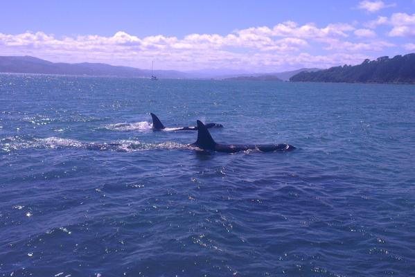 Orca at Greta Point