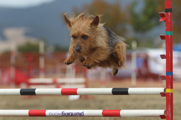 Kiki the Australian terrier with owner Cynthia Muir of Akaroa in the intermediate agility for small dogs section at the Dog Agility and Obedience Championship Show hosted by the Canterbury Canine Obedience Club at Canterbury Park over the weekend.