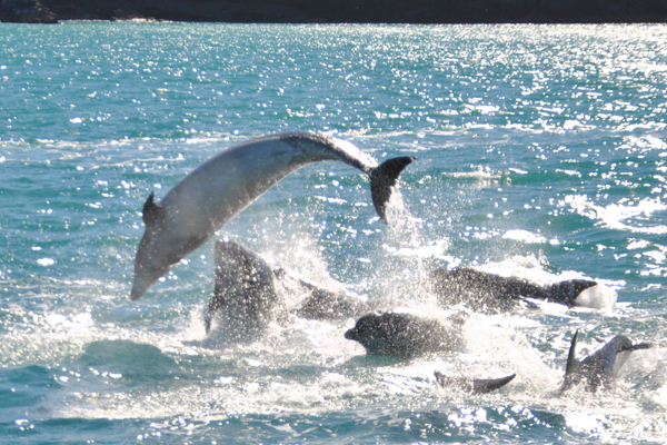 A large pod of Bottlenose dolphins were seen in Akaroa Harbour for the first time in recent memory today.