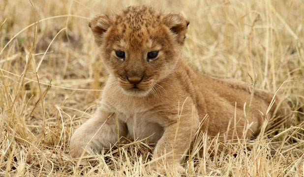 A lion cub plays at Tanzania's Serengeti National Park.