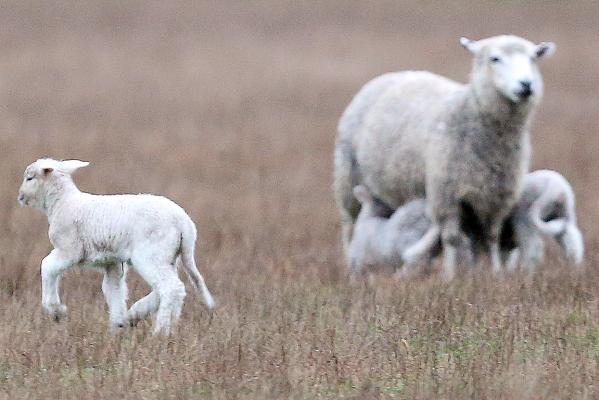 Lambs in Mandeville