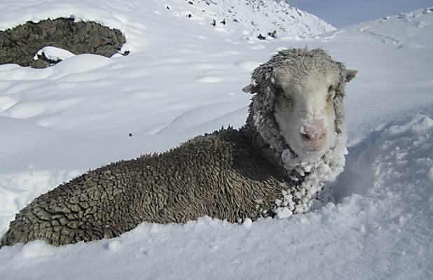 snow sheep landscape