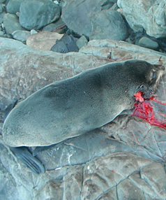 Seal shot near Kaikoura