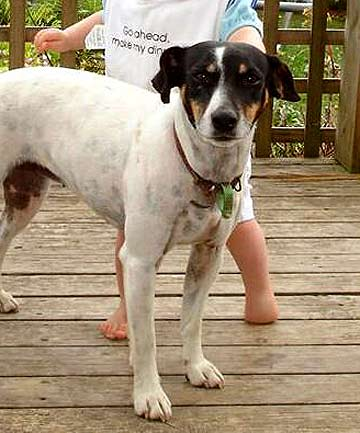 PORTIA: The 6-year-old fox terrier had vanished last Wednesday.