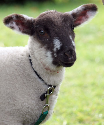 Chocky the pet lamb survived having his throat slashed in what appears to have been an attack