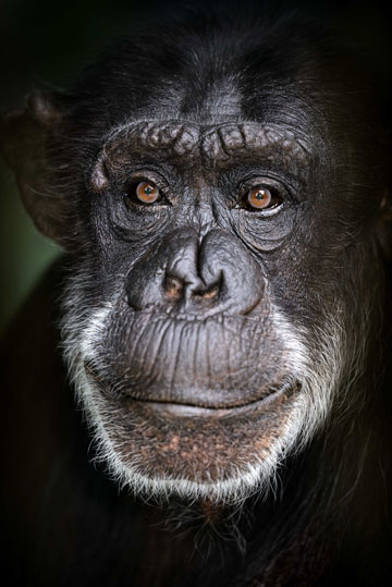 Janie the chimpanzee