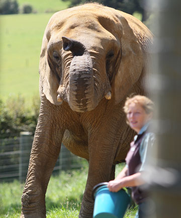 TRAGIC END: Keeper Helen Schofield was crushed to death by Mila the elephant.