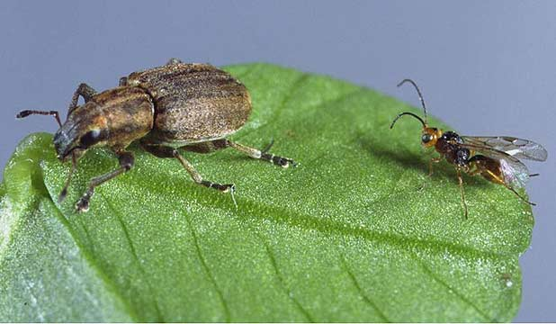 Clover root weevil (left) the Irish wasp.