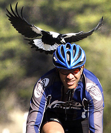 Magpie swoops on cyclist
