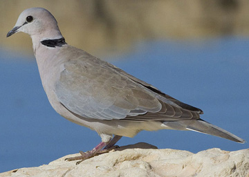Ring-necked dove.