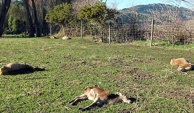 Deer found dead on Halswell farms