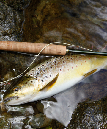 Maitai River brown trout