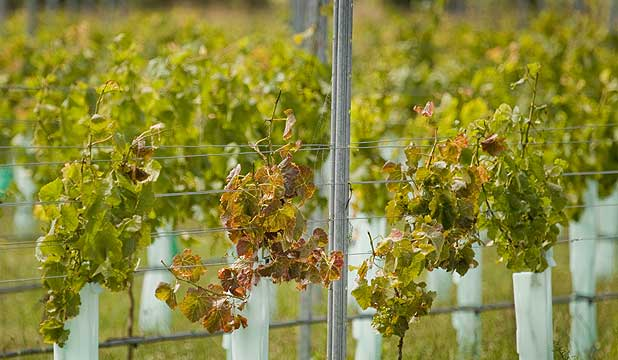 Trevor Bunting's Waipara vineyard is dying after a possible insecticide spray mix-up.
