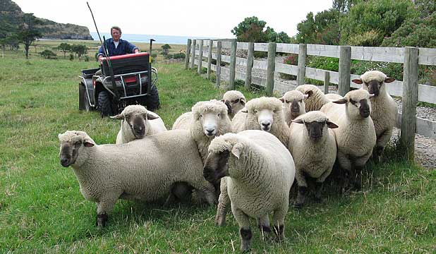 Bob and Marilyn Masefield will hold their first ram sale at Little River, saving ram buyers a trip to their isolated Banks Peninsula farm.