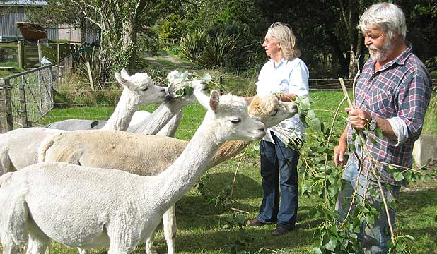 Ineke and Jacob van Neuren hand feed some of their alpaca females.