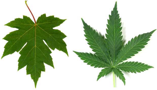 Maple leaf  Cannabis l...