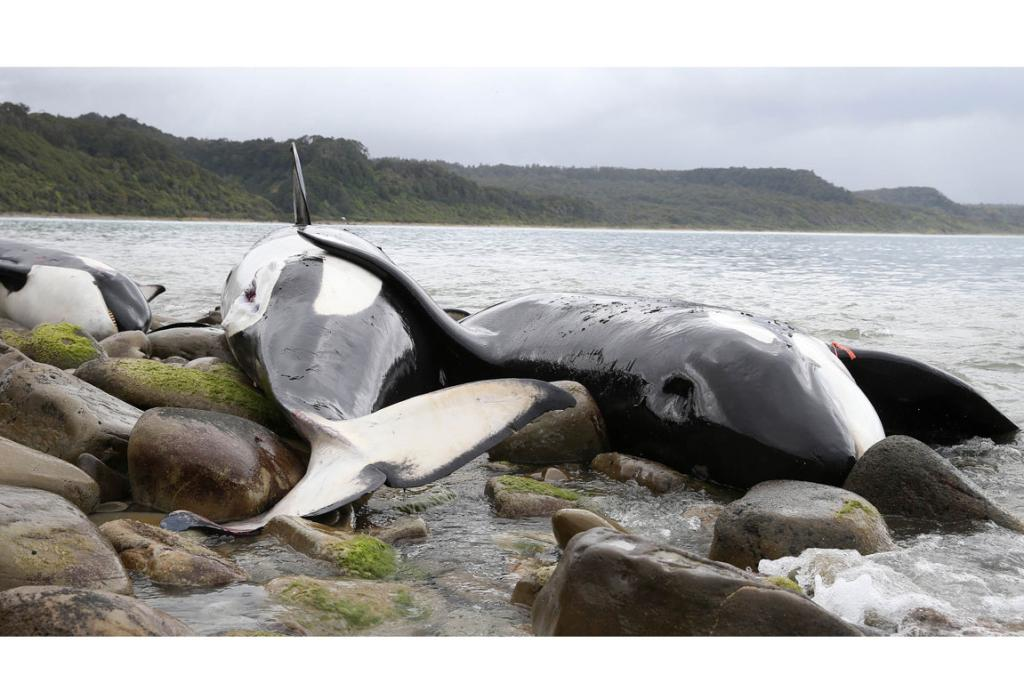 Orcas in Western Southland