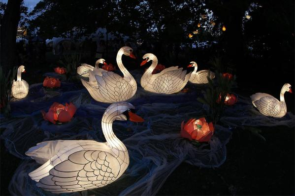 Swans at the Lantern Festival, Albert Park Auckland.