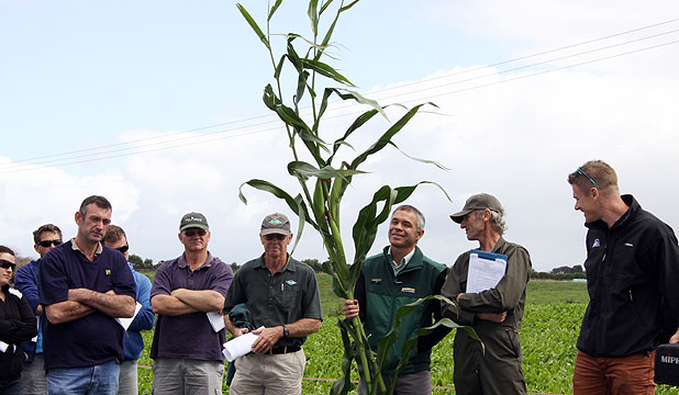 A stalk from Martin and Christine Powell's  maize crop at Hawera was on display on their farm during a field day.