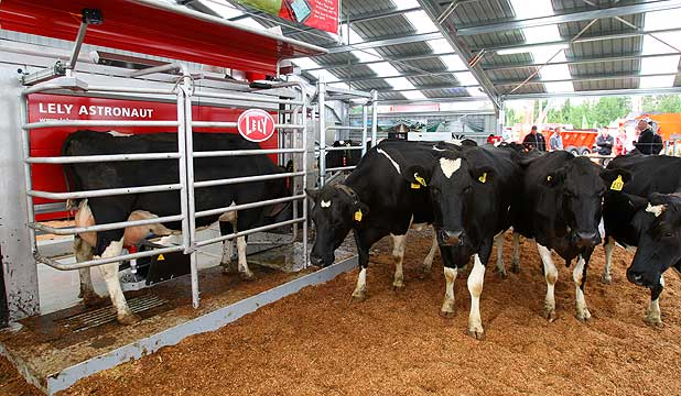 Cows calmly wait their turn in the queue to be milked by the Lely Astronaut A4 robotic milking system.