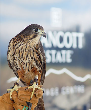 Brancott Estate falcon