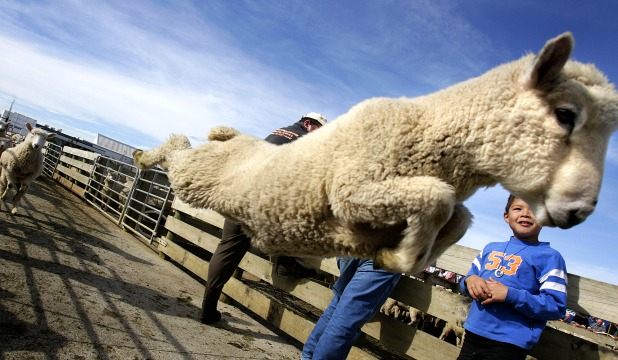John Strange, 7, gets out of the way as a sheep jumps on its way from the pen at the Feilding sale yards t
