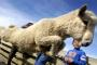 John Strange, 7, gets out of the way as a sheep ju
