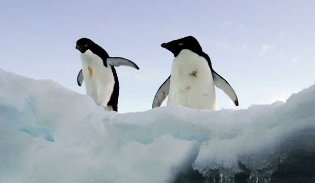 Adelie penguins, East Antarctica
