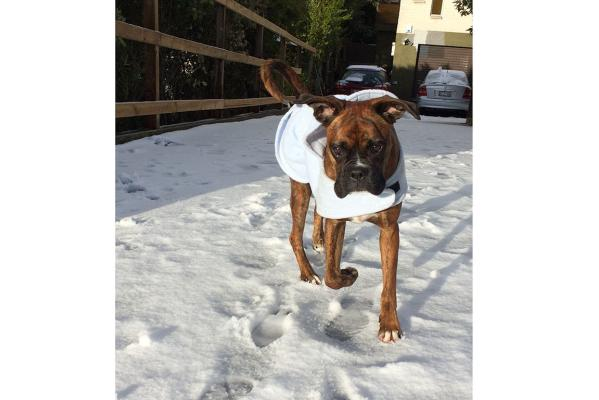 Boxer in snow