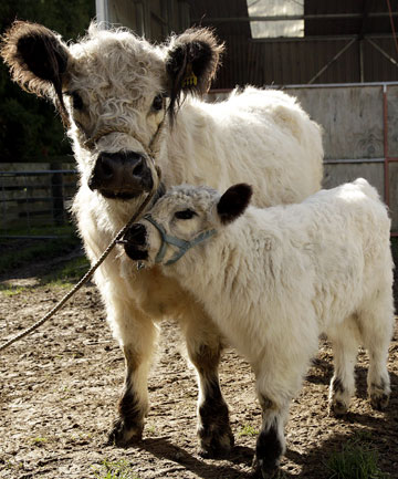wo-and-a-half-year-old galloway Annabell, with her 1-month-old calf Collister.