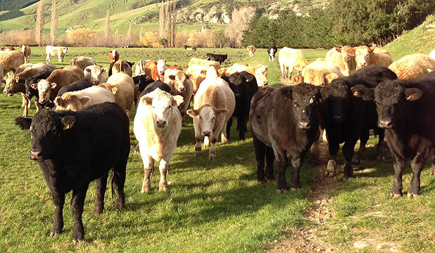 Rising 20-month cattle on Peter and Jane Evans' Alpine Farm at Pareora Gorge.