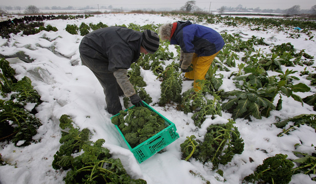 Sandy Wheeler from White Row Country Foods picks kale for her farm shop in a frozen field in Beckington on January 11, 2010 near Frome, England.