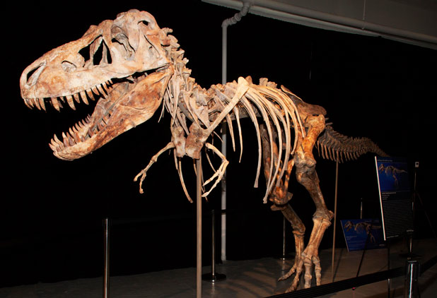 SMUGGLED: The skeleton of a Tyrannosaurus bataar dinosaur, which Eric Prokopi smuggled out of Mongolia.
