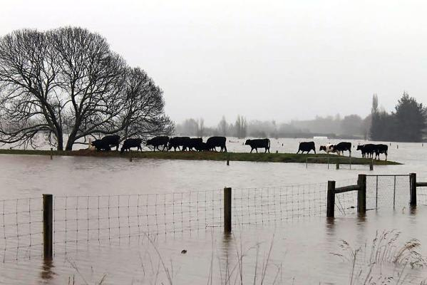 Cows flooded near Kaiapoi