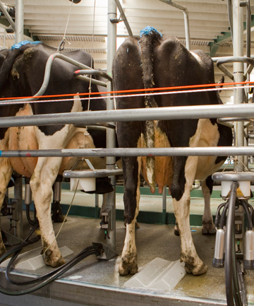 cows milking