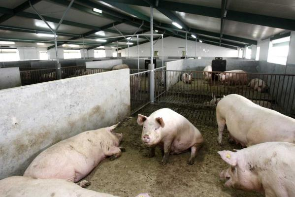 A 2011 photo of the sow sheds at the Stanley Piggery in Taranaki.