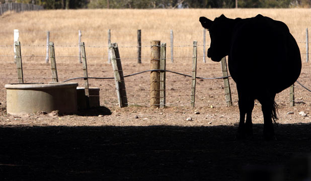 A cow leaves the shade for a drink.
