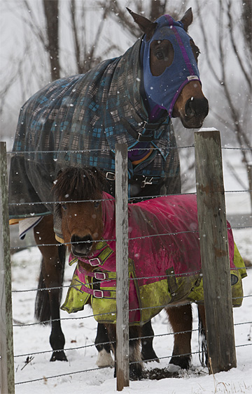 Rugged up horses