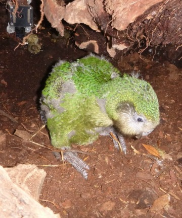 Kakapo Recovery is auctioning the naming rights of this male bird as a fundraiser.