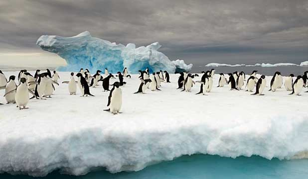 Adelie Penguins at Commonwealth Bay