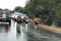 Lions hold up traffic in South Africa