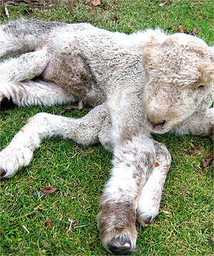 RARE LAMB: This lamb was born on Friday with seven legs.