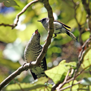 HELPFUL: the grey warbler, right, feeds a shining cuckoo chick.