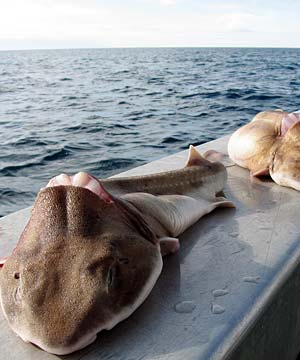 GRISLY PRACTICE: Sharks which were thrown back in the water with their fins removed.