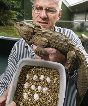 DASHING DAD Southland Museum Tuatara Curator Lindsay Hazley With Henry The And A Sample